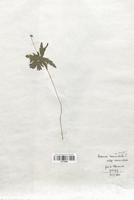 https://bibliotheque-virtuelle.bu.uca.fr/files/fichiers_bcu/Renonculaceae_Anemone_nemorosa_CLF120868.jpg
