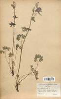 https://bibliotheque-virtuelle.bu.uca.fr/files/fichiers_bcu/Renonculaceae_Aquilegia_alpina_CLF120865.jpg