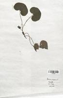 https://bibliotheque-virtuelle.bu.uca.fr/files/fichiers_bcu/Aristolochiaceae_Asarum_europaeum_CLF120898.jpg