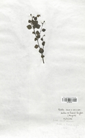 https://bibliotheque-virtuelle.bu.uca.fr/files/fichiers_bcu/Betulaceae_Betula_nana_x_B._verrucosa_CLF120778.jpg