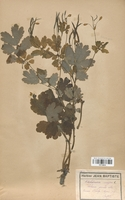 https://bibliotheque-virtuelle.bu.uca.fr/files/fichiers_bcu/Papaveraceae_Chelidonium_majus_CLF120810.jpg