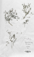https://bibliotheque-virtuelle.bu.uca.fr/files/fichiers_bcu/Fumariaceae_Fumaria_officinalis_wirtgenii_CLF120796.jpg