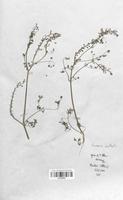 https://bibliotheque-virtuelle.bu.uca.fr/files/fichiers_bcu/Fumariaceae_Fumaria_vaillantii_CLF120797.jpg
