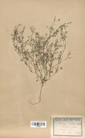 https://bibliotheque-virtuelle.bu.uca.fr/files/fichiers_bcu/Fumariaceae_Fumaria_vaillantii_CLF120802.jpg