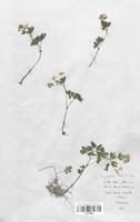 https://bibliotheque-virtuelle.bu.uca.fr/files/fichiers_bcu/Renonculaceae_Isopyrum_thalictroides_CLF120886.jpg