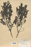https://bibliotheque-virtuelle.bu.uca.fr/files/fichiers_bcu/Myricaceae_Myrica_gale_CLF120793.jpg