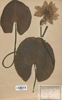 https://bibliotheque-virtuelle.bu.uca.fr/files/fichiers_bcu/Nymphaeaceae_Nymphaea_alba_CLF120895.jpg