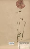 https://bibliotheque-virtuelle.bu.uca.fr/files/fichiers_bcu/Papaveraceae_Papaver_rhoeas_CLF120808.jpg