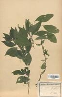 https://bibliotheque-virtuelle.bu.uca.fr/files/fichiers_bcu/Urticaceae_Parietaria_officinalis_CLF120786.jpg