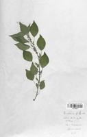 https://bibliotheque-virtuelle.bu.uca.fr/files/fichiers_bcu/Urticaceae_Parietaria_officinalis_CLF120788.jpg