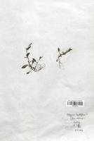 https://bibliotheque-virtuelle.bu.uca.fr/files/fichiers_bcu/Polygonaceae_Polygonum_lapathifolium_CLF120749.jpg