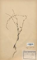 https://bibliotheque-virtuelle.bu.uca.fr/files/fichiers_bcu/Polygonaceae_Polygonum_patulum_CLF120757.jpg