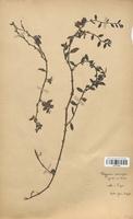 https://bibliotheque-virtuelle.bu.uca.fr/files/fichiers_bcu/Polygonaceae_Polygonum_rurivagum_CLF120754.jpg