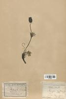 https://bibliotheque-virtuelle.bu.uca.fr/files/fichiers_bcu/Renonculaceae_Pulsatilla_montana_CLF120870.jpg