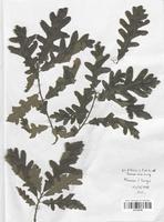 https://bibliotheque-virtuelle.bu.uca.fr/files/fichiers_bcu/Fagaceae_Quercus_pyrenaica_CLF120769.jpg