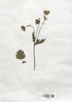 https://bibliotheque-virtuelle.bu.uca.fr/files/fichiers_bcu/Renonculaceae_Ranunculus_alpestris_CLF120834.jpg