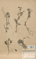https://bibliotheque-virtuelle.bu.uca.fr/files/fichiers_bcu/Renonculaceae_Ranunculus_aquatilis_CLF120817.jpg
