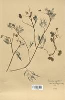 https://bibliotheque-virtuelle.bu.uca.fr/files/fichiers_bcu/Renonculaceae_Ranunculus_aquatilis_CLF120823.jpg