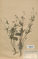 https://bibliotheque-virtuelle.bu.uca.fr/files/fichiers_bcu/Renonculaceae_Ranunculus_auricomus_CLF120845.jpg