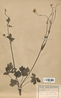 https://bibliotheque-virtuelle.bu.uca.fr/files/fichiers_bcu/Renonculaceae_Ranunculus_nemorosus_breyninus_CLF120848.jpg