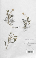 https://bibliotheque-virtuelle.bu.uca.fr/files/fichiers_bcu/Renonculaceae_Ranunculus_penicillatus_CLF120827.jpg
