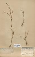 https://bibliotheque-virtuelle.bu.uca.fr/files/fichiers_bcu/Renonculaceae_Ranunculus_pyrenaeus_CLF120854.jpg