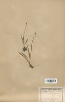 https://bibliotheque-virtuelle.bu.uca.fr/files/fichiers_bcu/Renonculaceae_Ranunculus_pyrenaeus_CLF120855.jpg