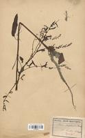 https://bibliotheque-virtuelle.bu.uca.fr/files/fichiers_bcu/Polygonaceae_Rumex_conglomeratus_CLF120738.jpg