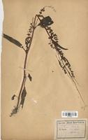 https://bibliotheque-virtuelle.bu.uca.fr/files/fichiers_bcu/Polygonaceae_Rumex_crispus_CLF120736.jpg