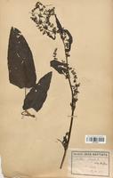 https://bibliotheque-virtuelle.bu.uca.fr/files/fichiers_bcu/Polygonaceae_Rumex_obtusifolius_CLF120742.jpg