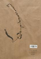 https://bibliotheque-virtuelle.bu.uca.fr/files/fichiers_bcu/Polygonaceae_Rumex_sanguineus_CLF120737.jpg