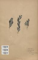 https://bibliotheque-virtuelle.bu.uca.fr/files/fichiers_bcu/Salicaceae_Salix_aurita_x_repens_CLF120727.jpg