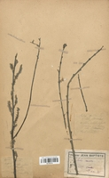 https://bibliotheque-virtuelle.bu.uca.fr/files/fichiers_bcu/Salicaceae_Salix_cinerea_CLF120719.jpg