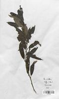 https://bibliotheque-virtuelle.bu.uca.fr/files/fichiers_bcu/Salicaceae_Salix_fragilis_CLF120708.jpg