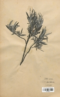 https://bibliotheque-virtuelle.bu.uca.fr/files/fichiers_bcu/Salicaceae_Salix_incana_CLF120712.jpg
