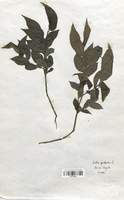 https://bibliotheque-virtuelle.bu.uca.fr/files/fichiers_bcu/Salicaceae_Salix_pentandra_CLF120734.jpg