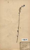https://bibliotheque-virtuelle.bu.uca.fr/files/fichiers_bcu/Salicaceae_Salix_triandra_var._amygdalina_CLF120710.jpg