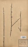 https://bibliotheque-virtuelle.bu.uca.fr/files/fichiers_bcu/Salicaceae_Salix_triandra_x_S.viminalis_mollissima_CLF120723.jpg