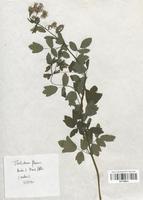 https://bibliotheque-virtuelle.bu.uca.fr/files/fichiers_bcu/Renonculaceae_Thalictrum_flavum_CLF120874.jpg