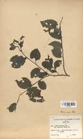 https://bibliotheque-virtuelle.bu.uca.fr/files/fichiers_bcu/Ulmaceae_Ulmus_vulgaris_suberosa_CLF120789.jpg