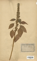 https://bibliotheque-virtuelle.bu.uca.fr/files/fichiers_bcu/Amarantaceae_Amarantus_sanguineus_CLF113065.jpg
