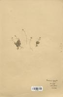 https://bibliotheque-virtuelle.bu.uca.fr/files/fichiers_bcu/Caryophyllaceae_Arenaria_aggregata_CLF120937.jpg