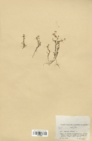 https://bibliotheque-virtuelle.bu.uca.fr/files/fichiers_bcu/Caryophyllaceae_Arenaria_biflora_CLF120936.jpg