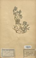 https://bibliotheque-virtuelle.bu.uca.fr/files/fichiers_bcu/Chenopodiaceae_Atriplex_crassifolia_CLF113057.jpg