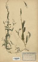 https://bibliotheque-virtuelle.bu.uca.fr/files/fichiers_bcu/Chenopodiaceae_Atriplex_patulus_CLF113055.jpg
