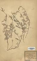 https://bibliotheque-virtuelle.bu.uca.fr/files/fichiers_bcu/Chenopodiaceae_Atriplex_portulacoides_CLF113048.jpg