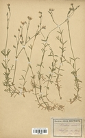 https://bibliotheque-virtuelle.bu.uca.fr/files/fichiers_bcu/Caryophyllaceae_Cerastium_arvense_CLF113008.jpg