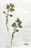 https://bibliotheque-virtuelle.bu.uca.fr/files/fichiers_bcu/Chenopodiaceae_Chenopodium_murale_CLF113028.jpg