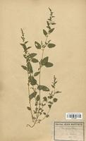 https://bibliotheque-virtuelle.bu.uca.fr/files/fichiers_bcu/Chenopodiaceae_Chenopodium_polyspermum_CLF113039.jpg