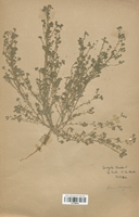 https://bibliotheque-virtuelle.bu.uca.fr/files/fichiers_bcu/Caryophyllaceae_Corrigiola_litoralis_CLF120916.jpg